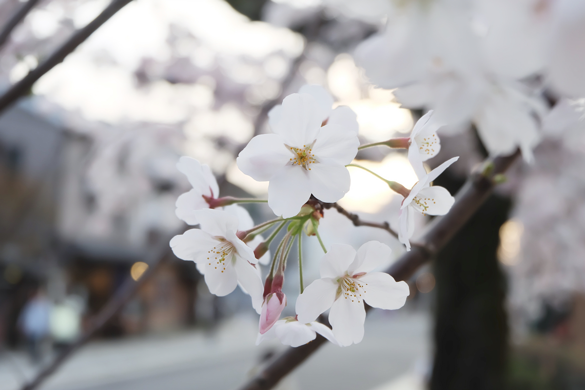 DSCF1079 kyoto sakura cherry blossoms spring 2016