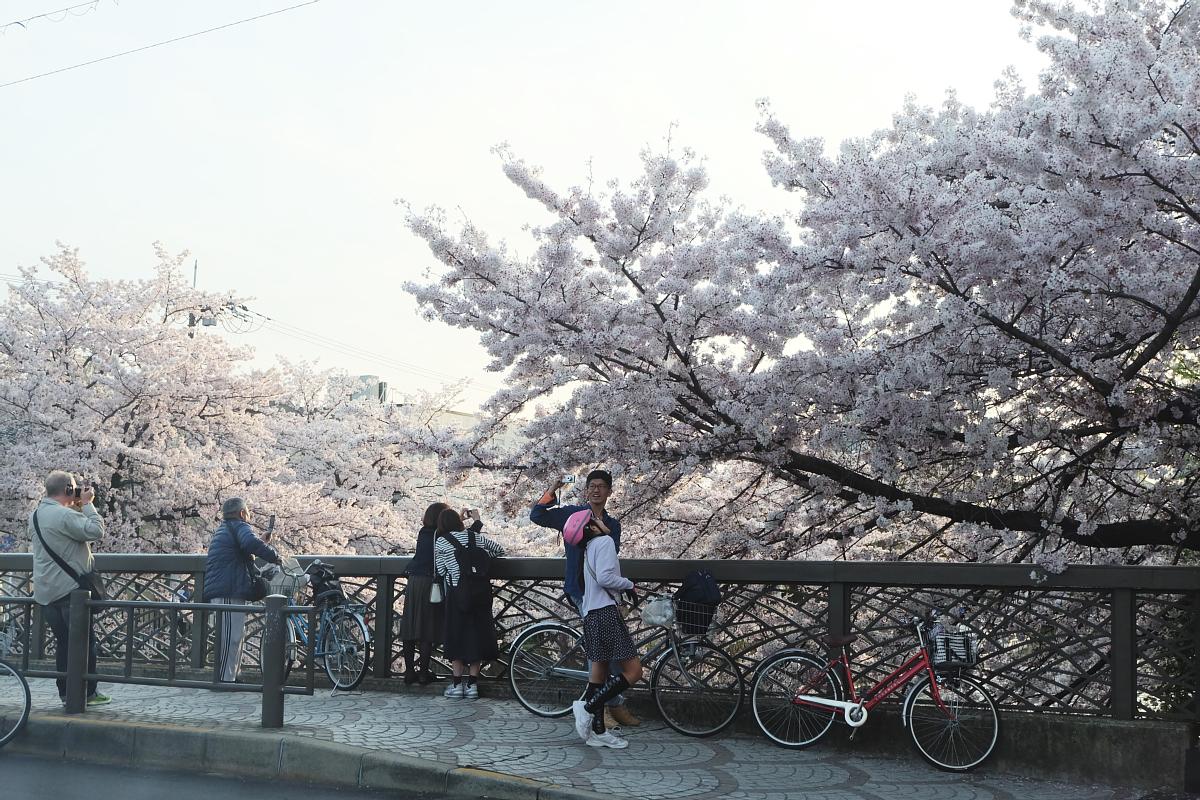 DSCF1088 kyoto sakura cherry blossoms spring 2016