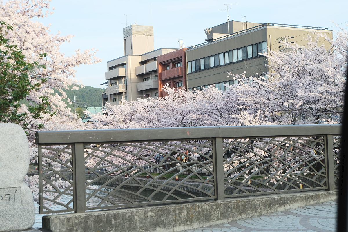 DSCF1089 kyoto sakura cherry blossoms spring 2016