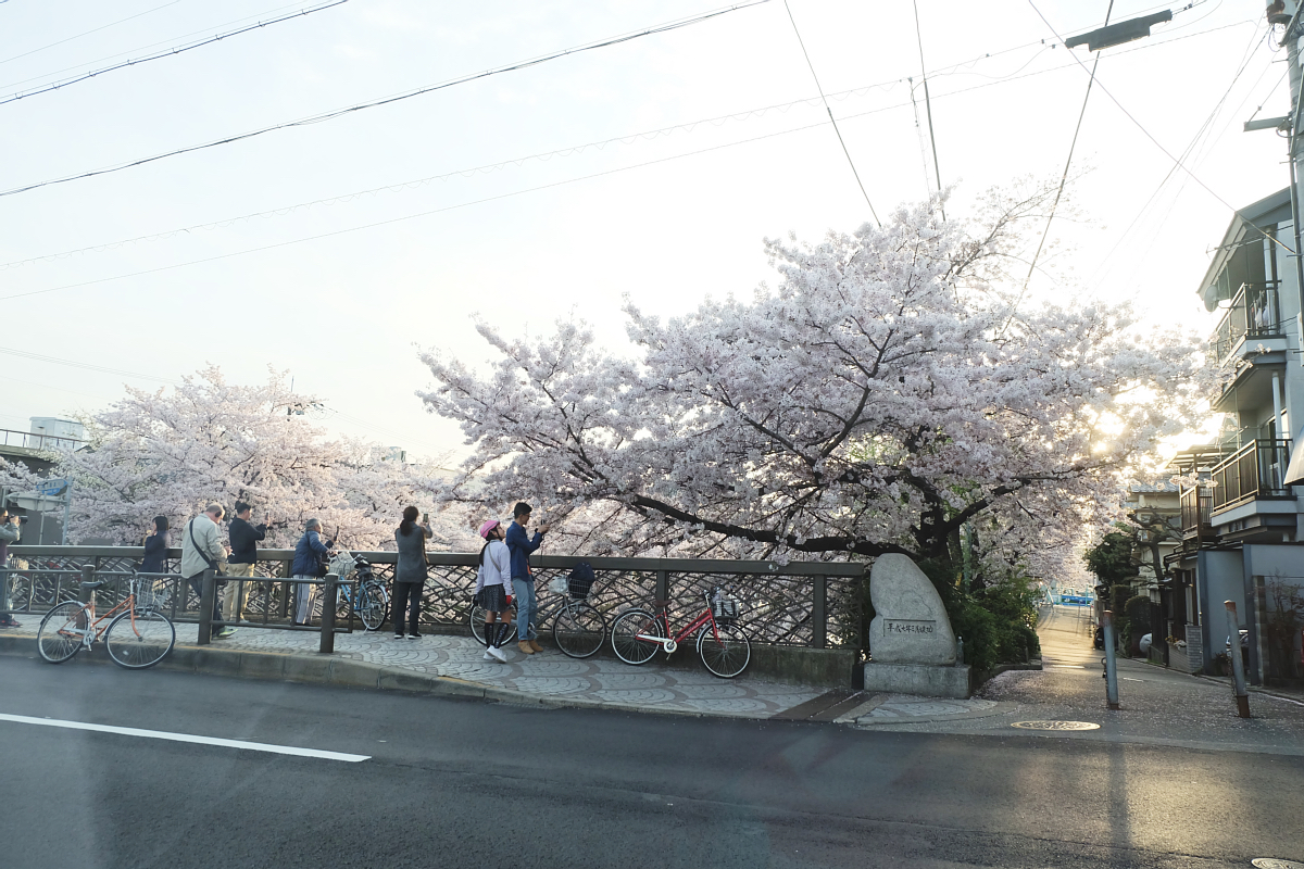 DSCF1091 kyoto sakura cherry blossoms spring 2016