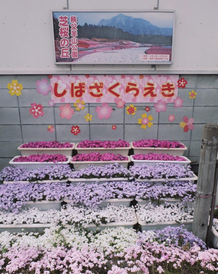DSCF2051 hitsujiyama park shibazakura chichibu saitama