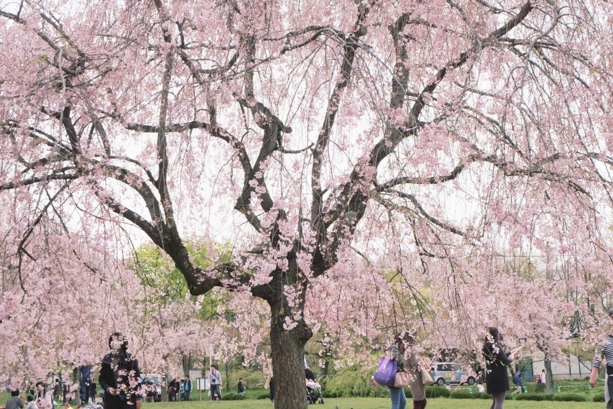 DSCF2088 hitsujiyama park shibazakura chichibu saitama