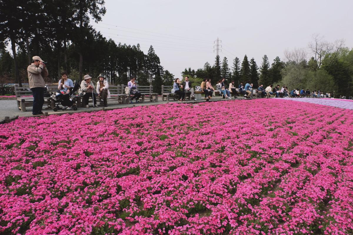 DSCF2103 hitsujiyama park shibazakura chichibu saitama