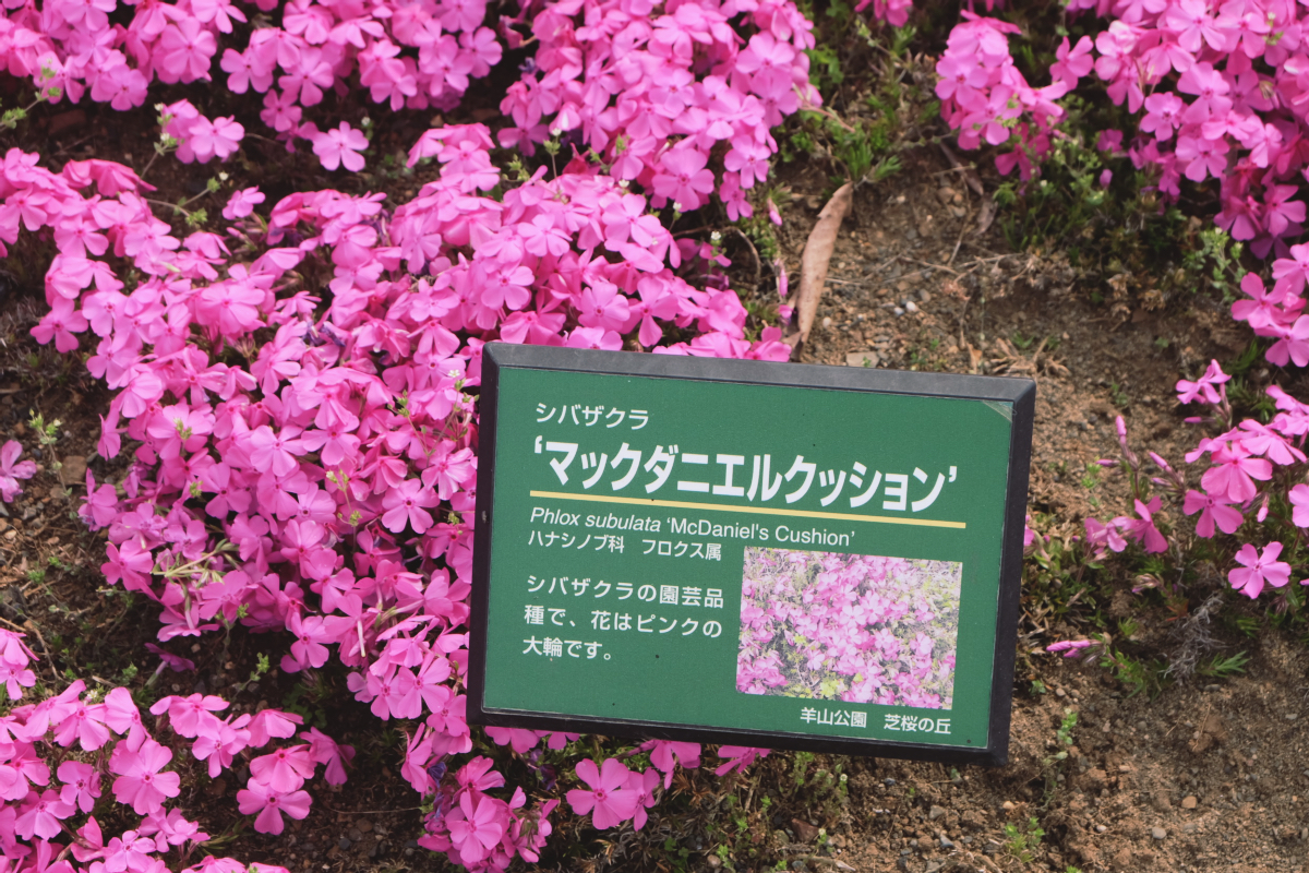 DSCF2105 hitsujiyama park shibazakura chichibu saitama