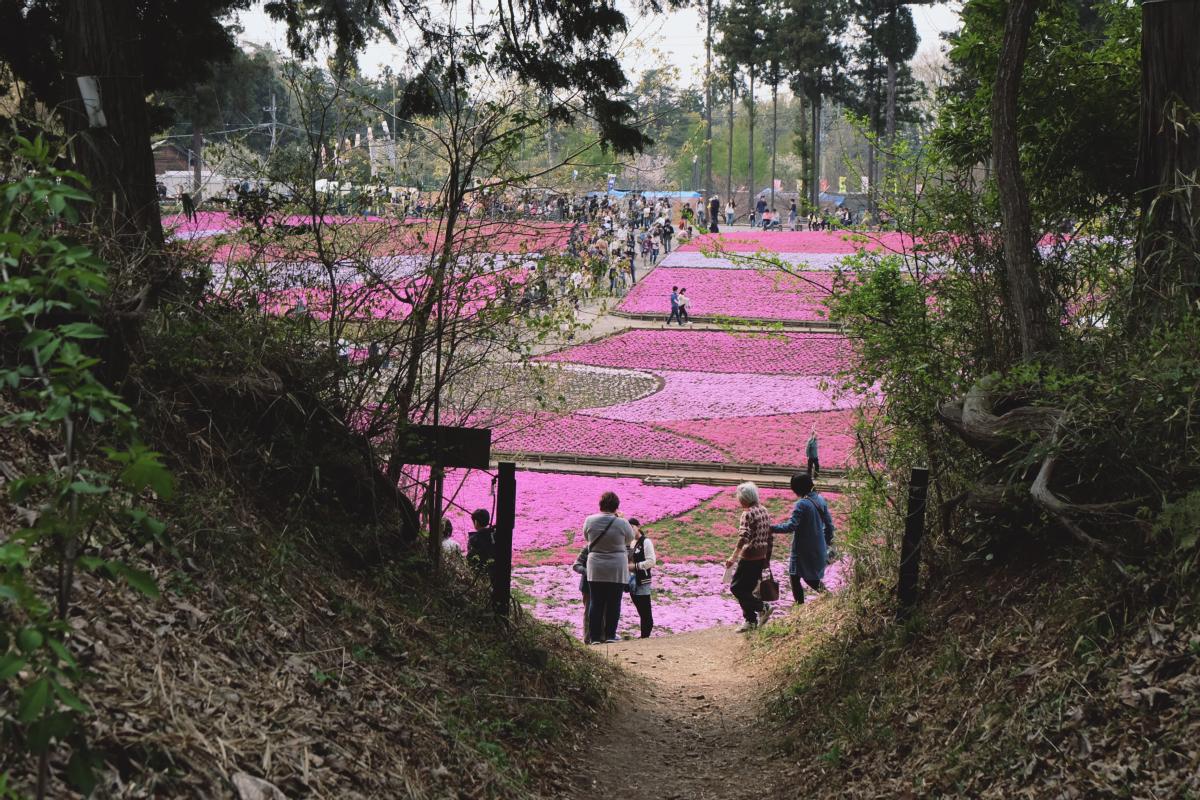 DSCF2122 hitsujiyama park shibazakura chichibu saitama