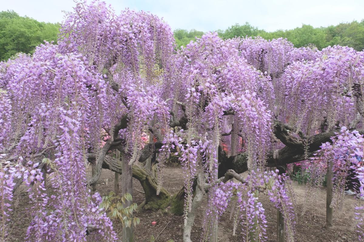 DSCF2781 wisteria ashikaga park