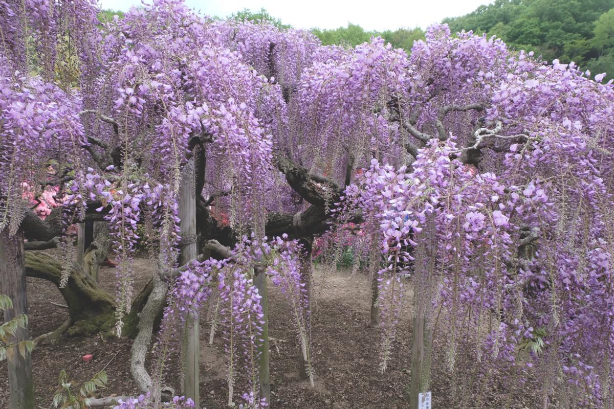 DSCF2782 wisteria ashikaga park
