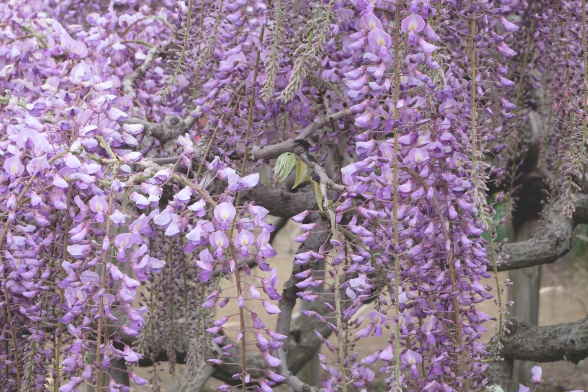 DSCF2783 wisteria ashikaga park