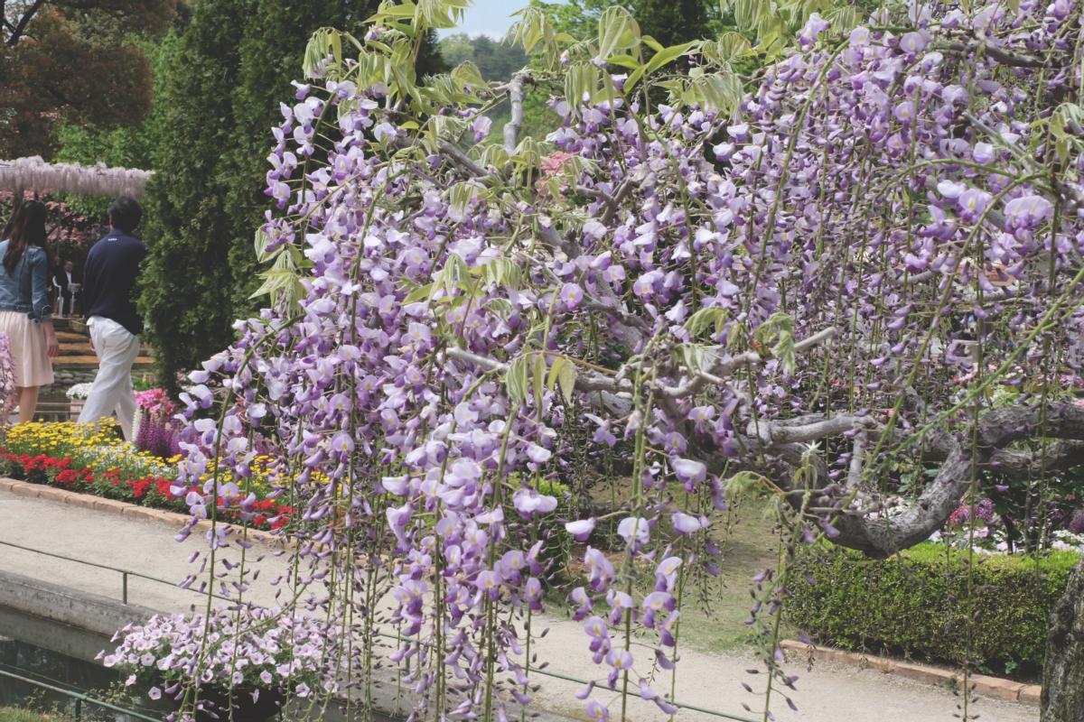 DSCF2787 wisteria ashikaga park