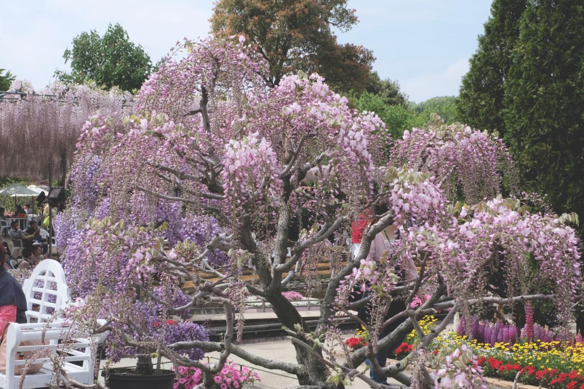DSCF2788 wisteria ashikaga park
