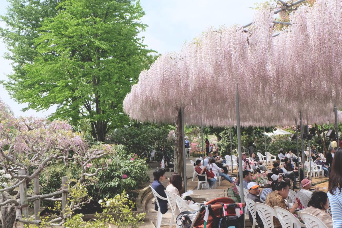 DSCF2790 wisteria ashikaga park