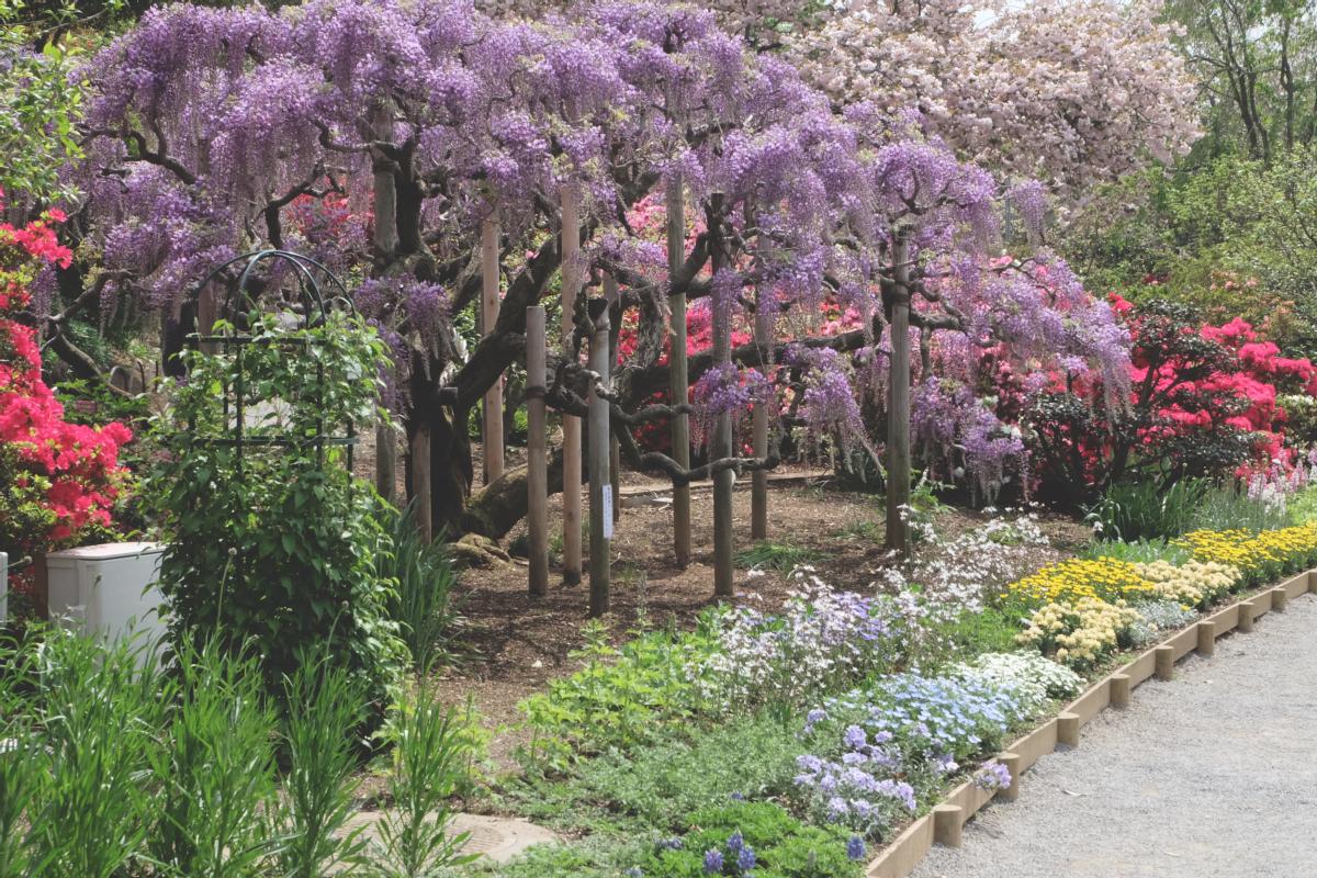 DSCF2793 wisteria ashikaga park