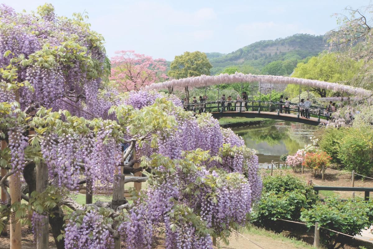 DSCF2796 wisteria ashikaga park