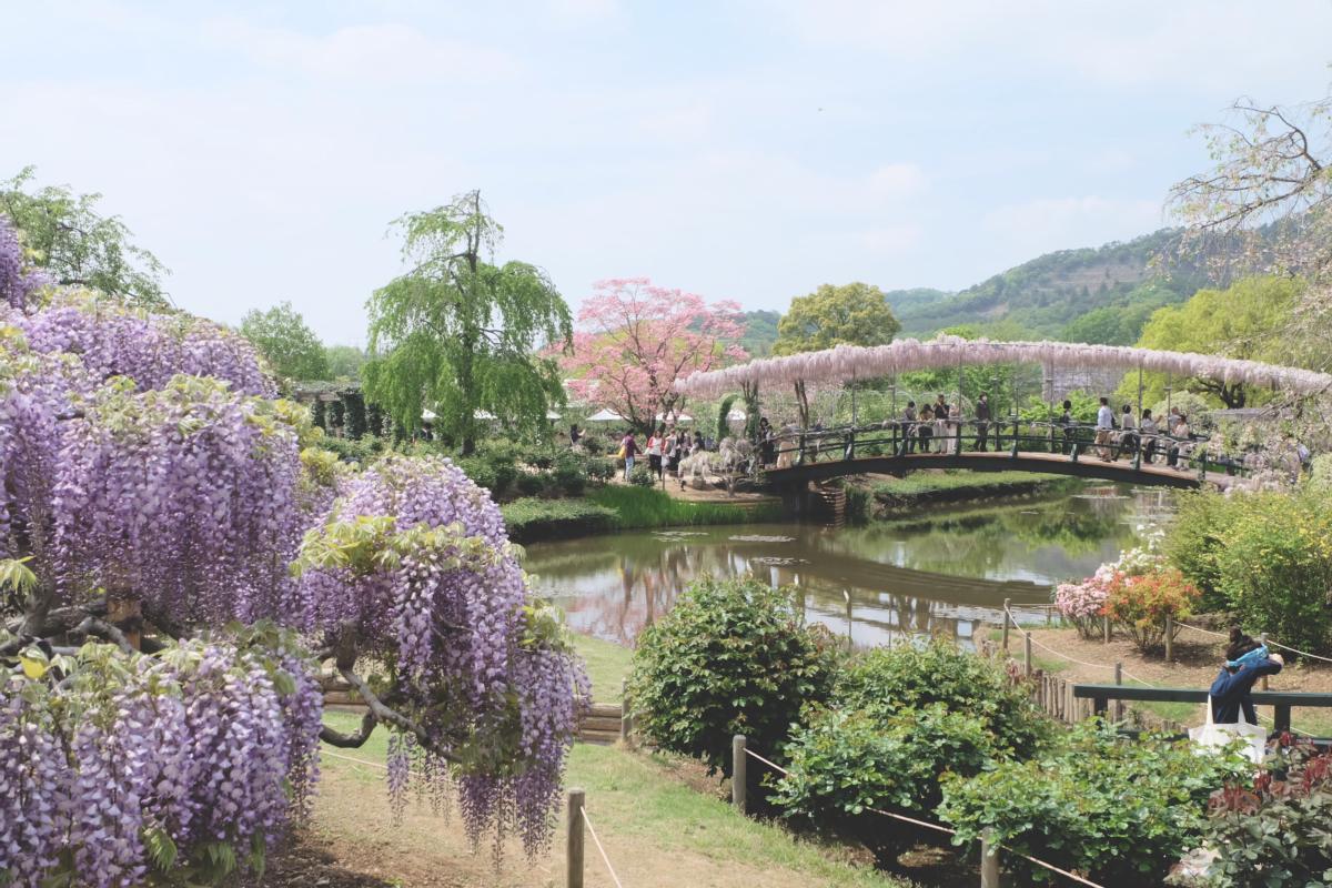 DSCF2797 wisteria ashikaga park