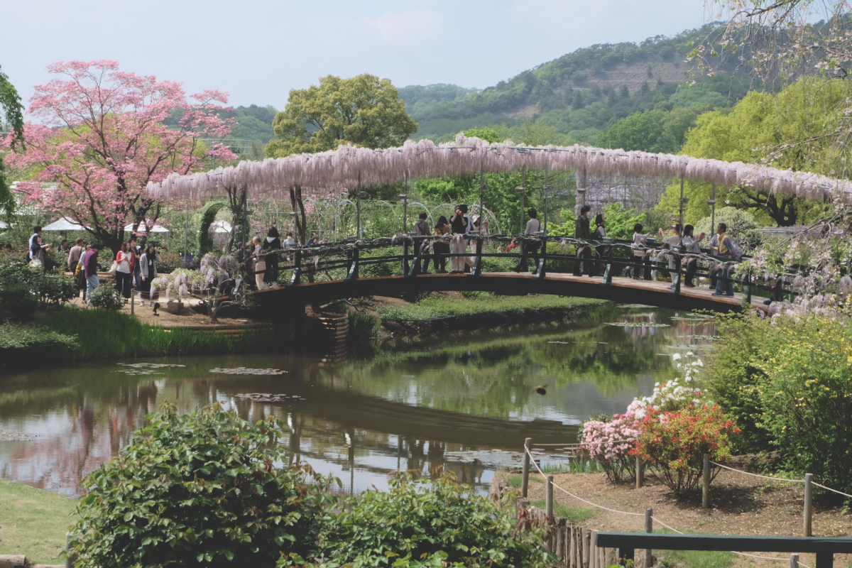 DSCF2798 wisteria ashikaga park