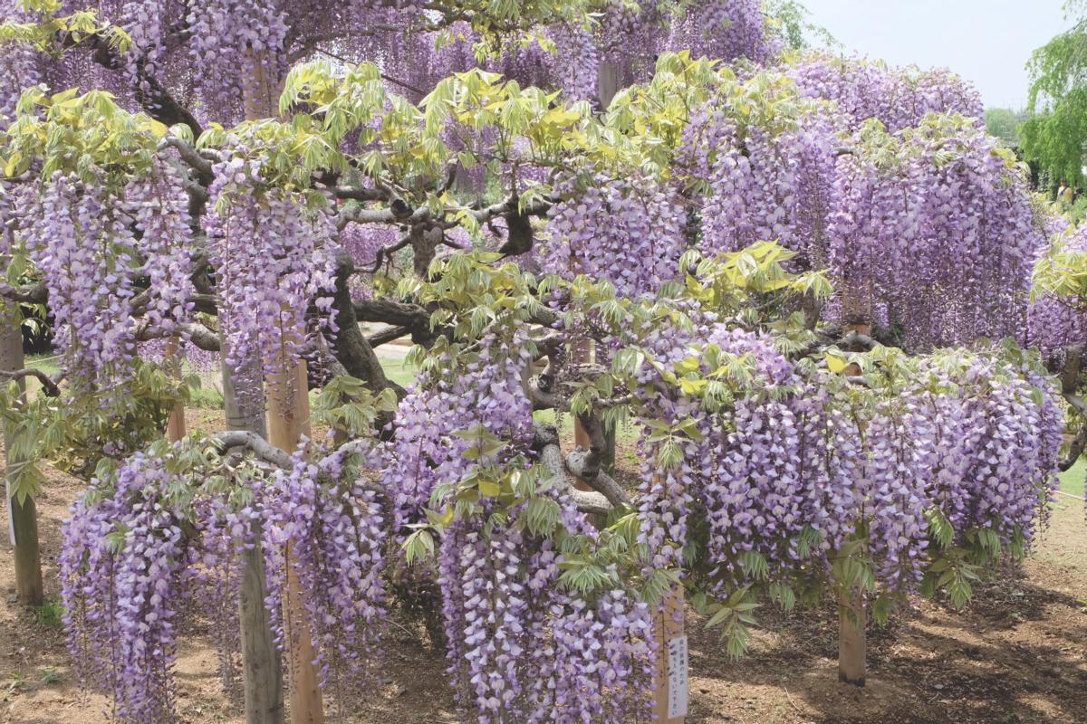 DSCF2799 wisteria ashikaga park