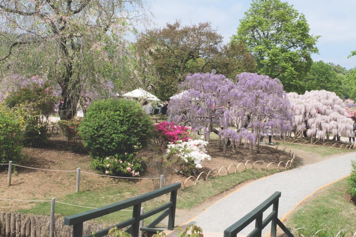 DSCF2800 wisteria ashikaga park