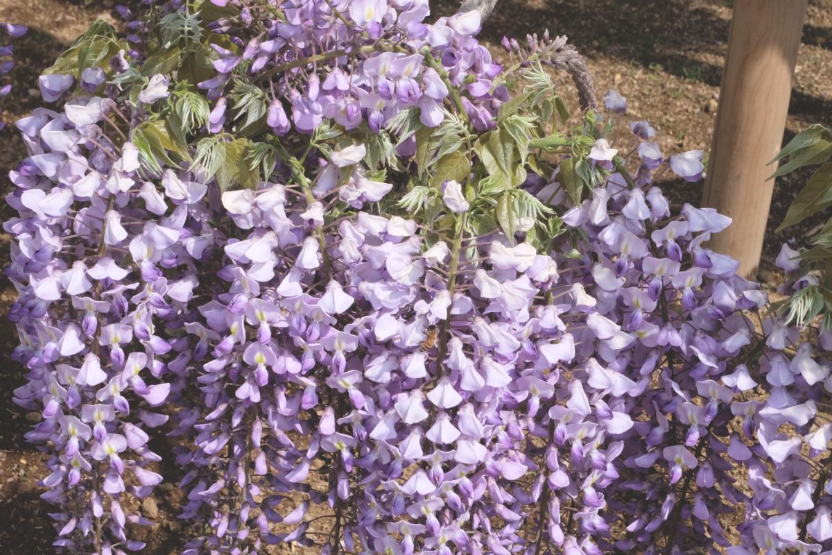 DSCF2801 wisteria ashikaga park