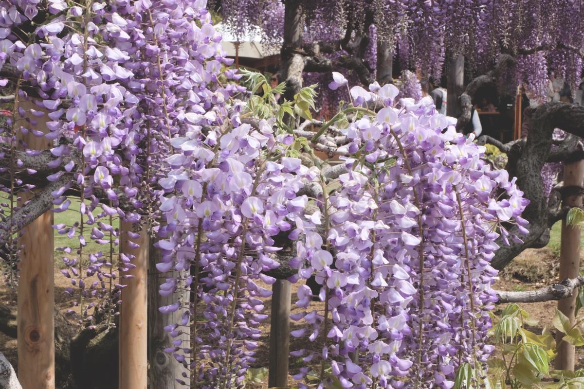 DSCF2802 wisteria ashikaga park