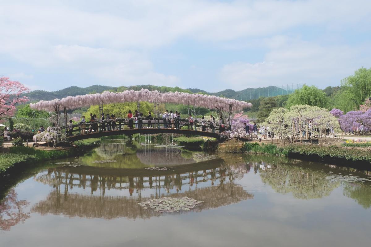 DSCF2804 wisteria ashikaga park
