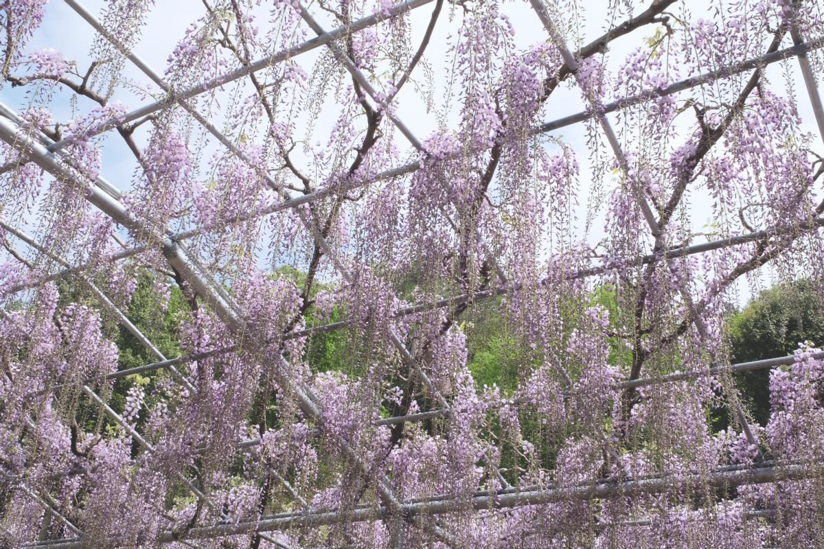 DSCF2805 wisteria ashikaga park