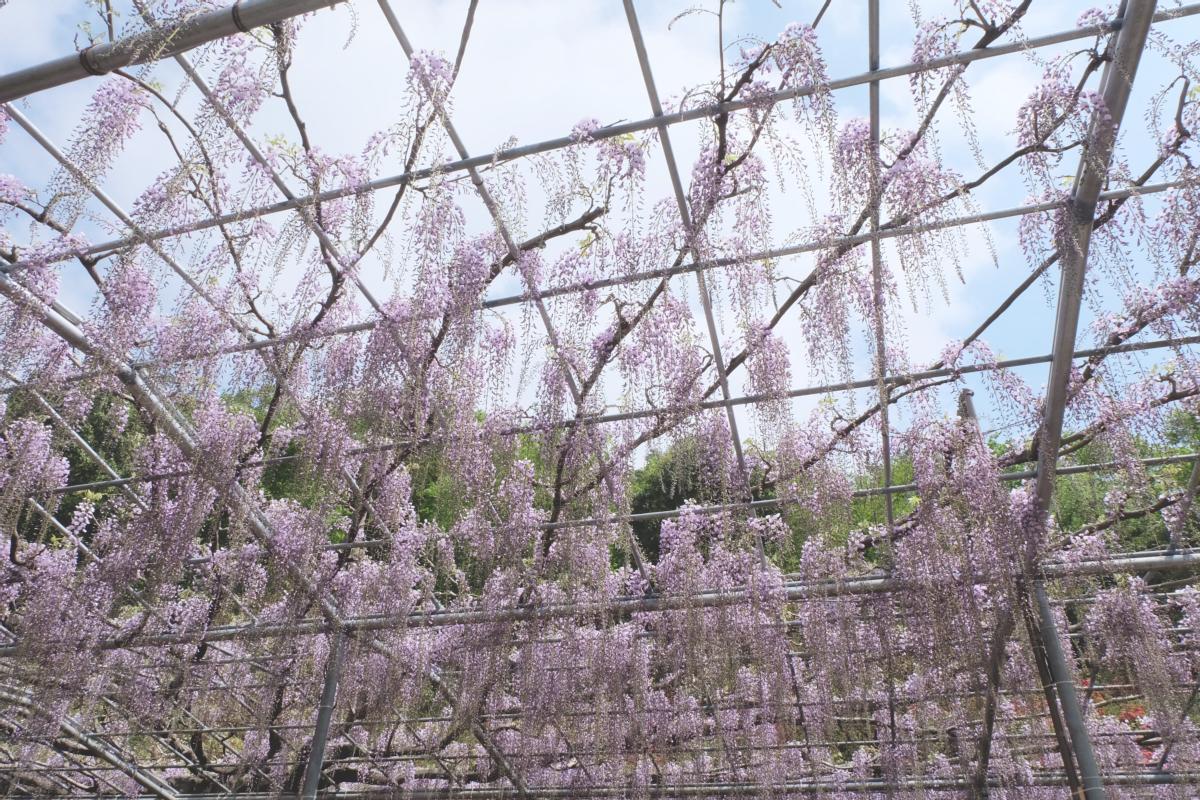 DSCF2806 wisteria ashikaga park