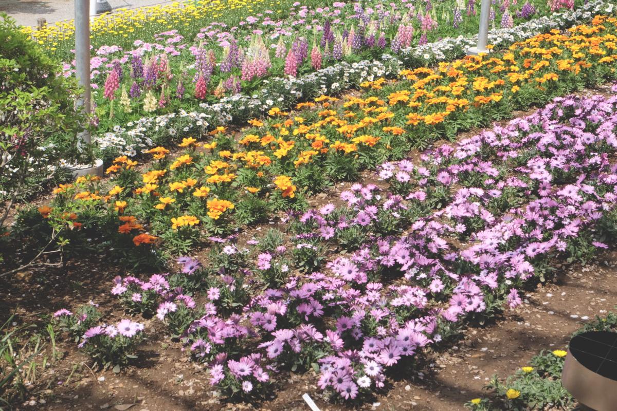 DSCF2809 wisteria ashikaga park