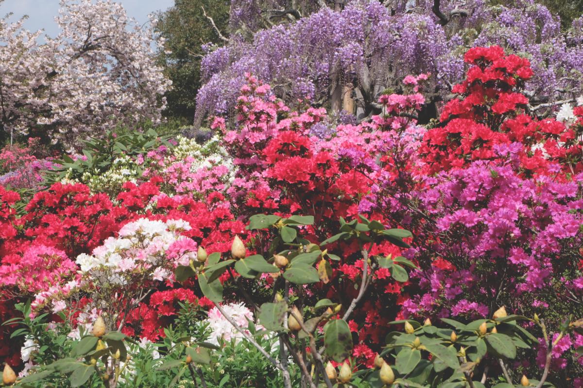 DSCF2811 wisteria ashikaga park