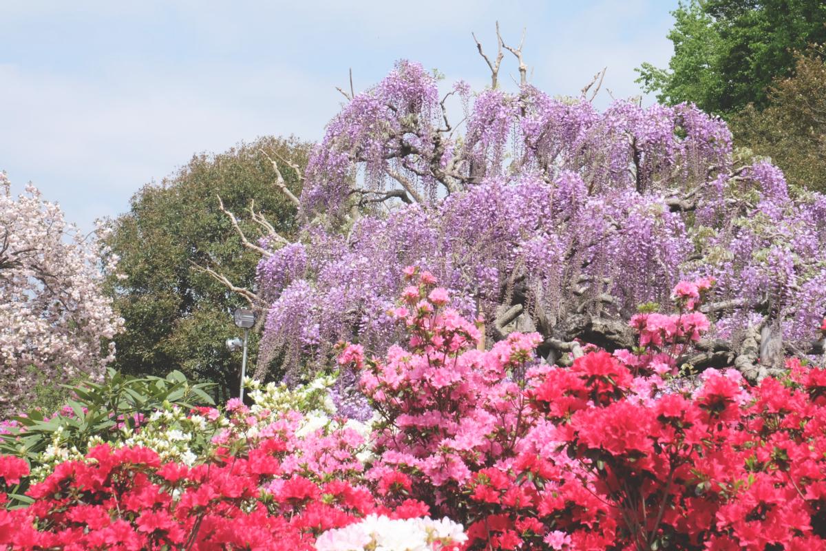 DSCF2812 wisteria ashikaga park