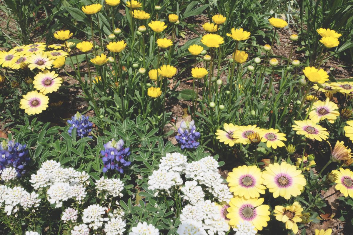 DSCF2814 wisteria ashikaga park