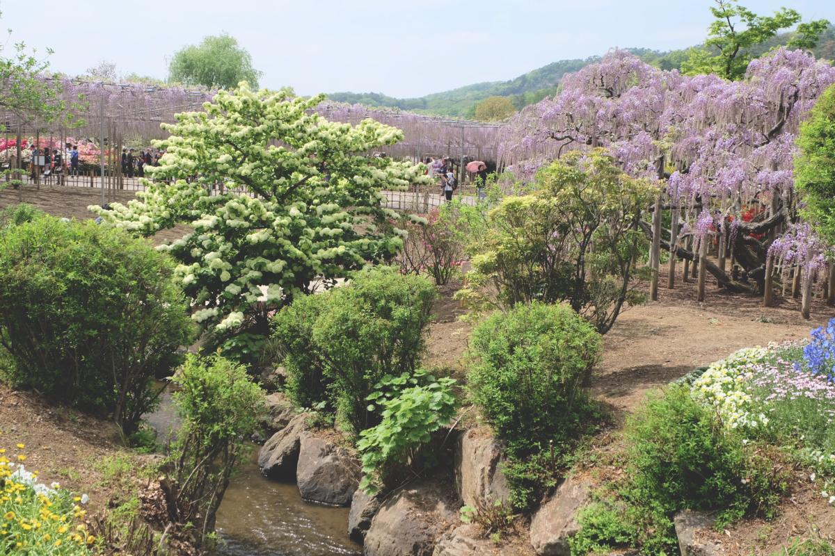 DSCF2825 wisteria ashikaga park