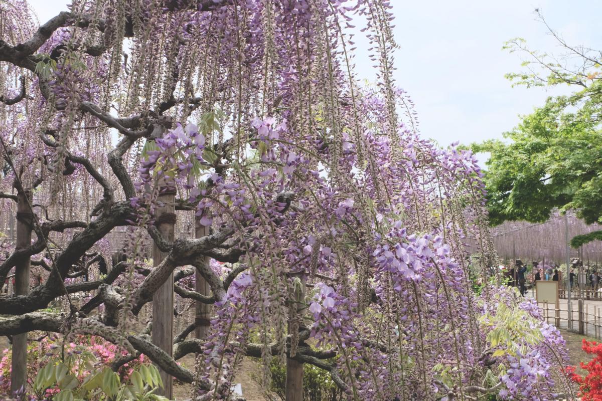DSCF2830 wisteria ashikaga park