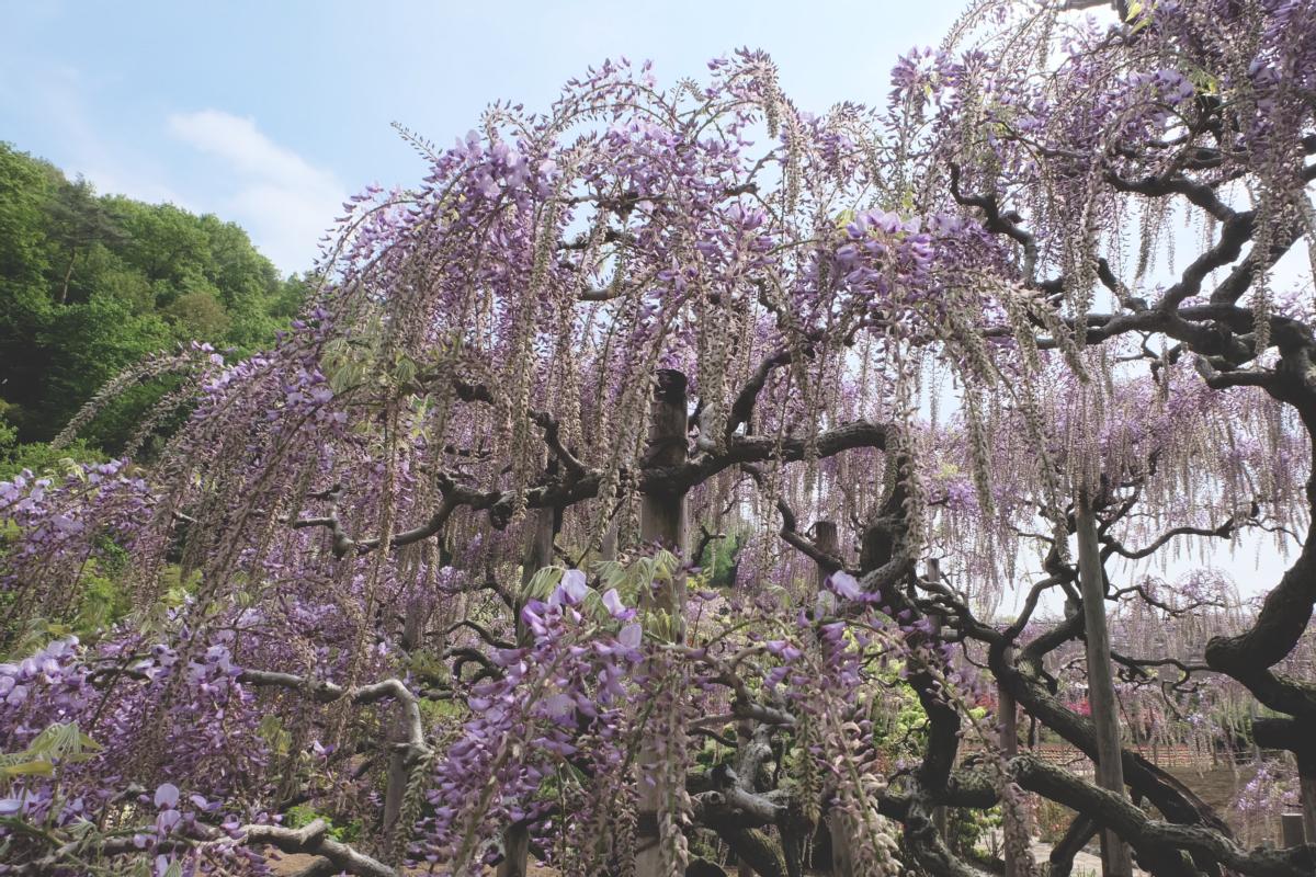 DSCF2831 wisteria ashikaga park