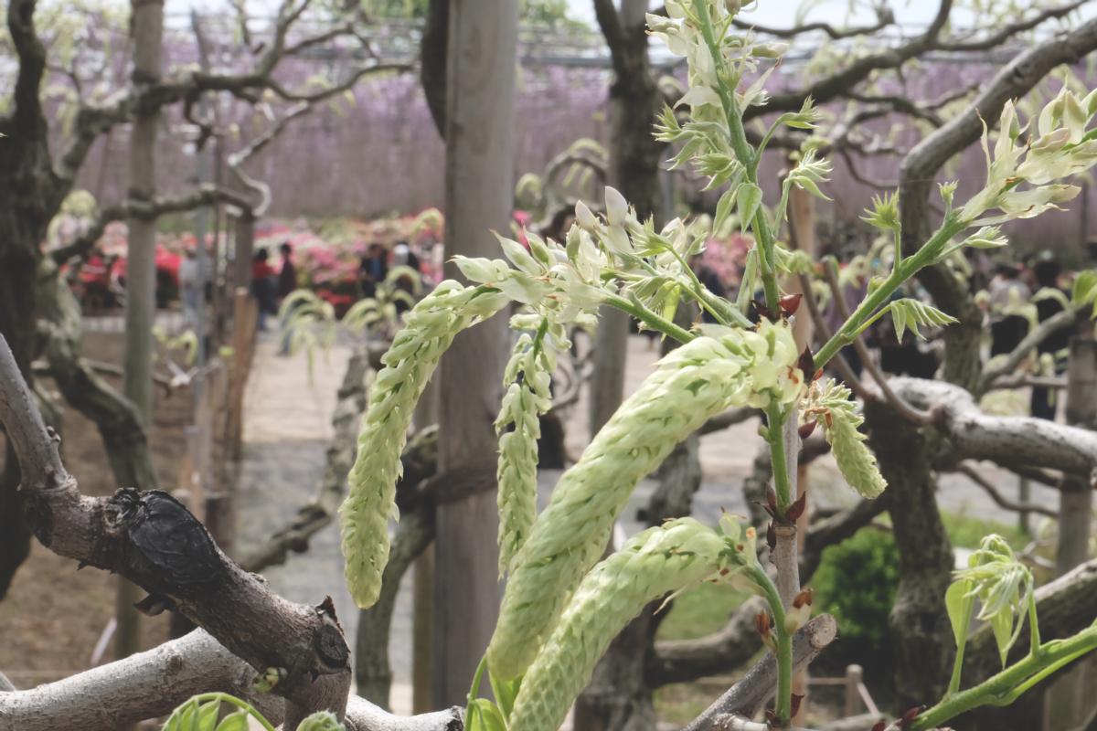 DSCF2833 wisteria ashikaga park