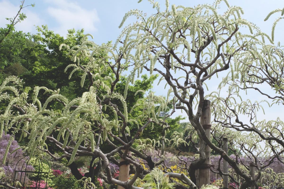 DSCF2834 wisteria ashikaga park