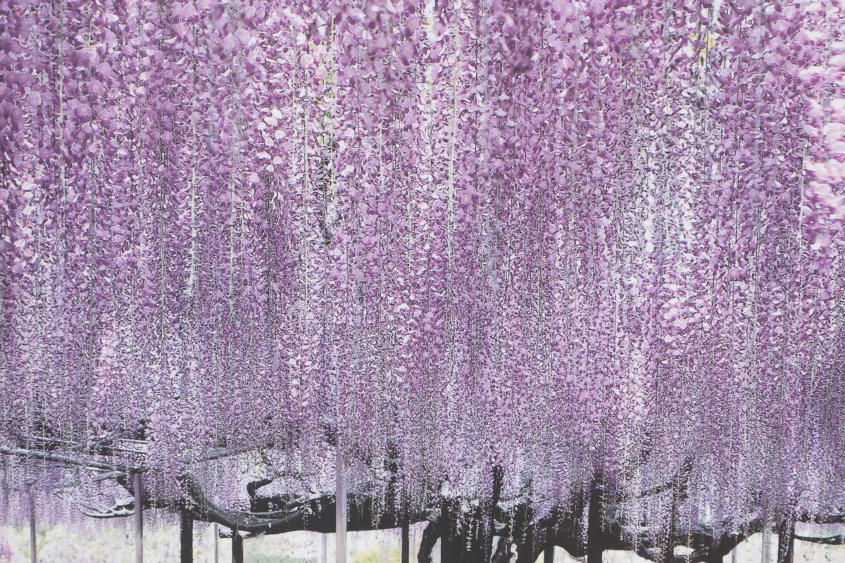 DSCF2835 wisteria ashikaga park
