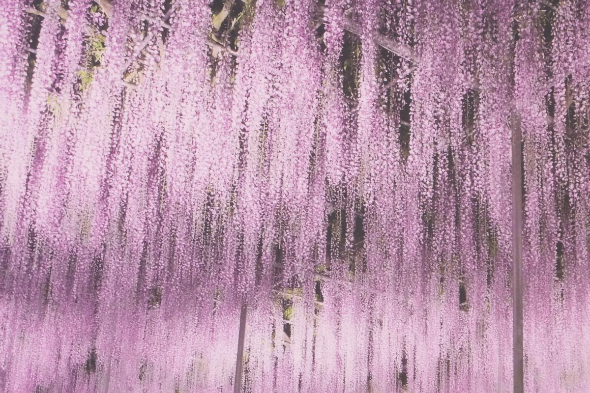 DSCF2836 wisteria ashikaga park