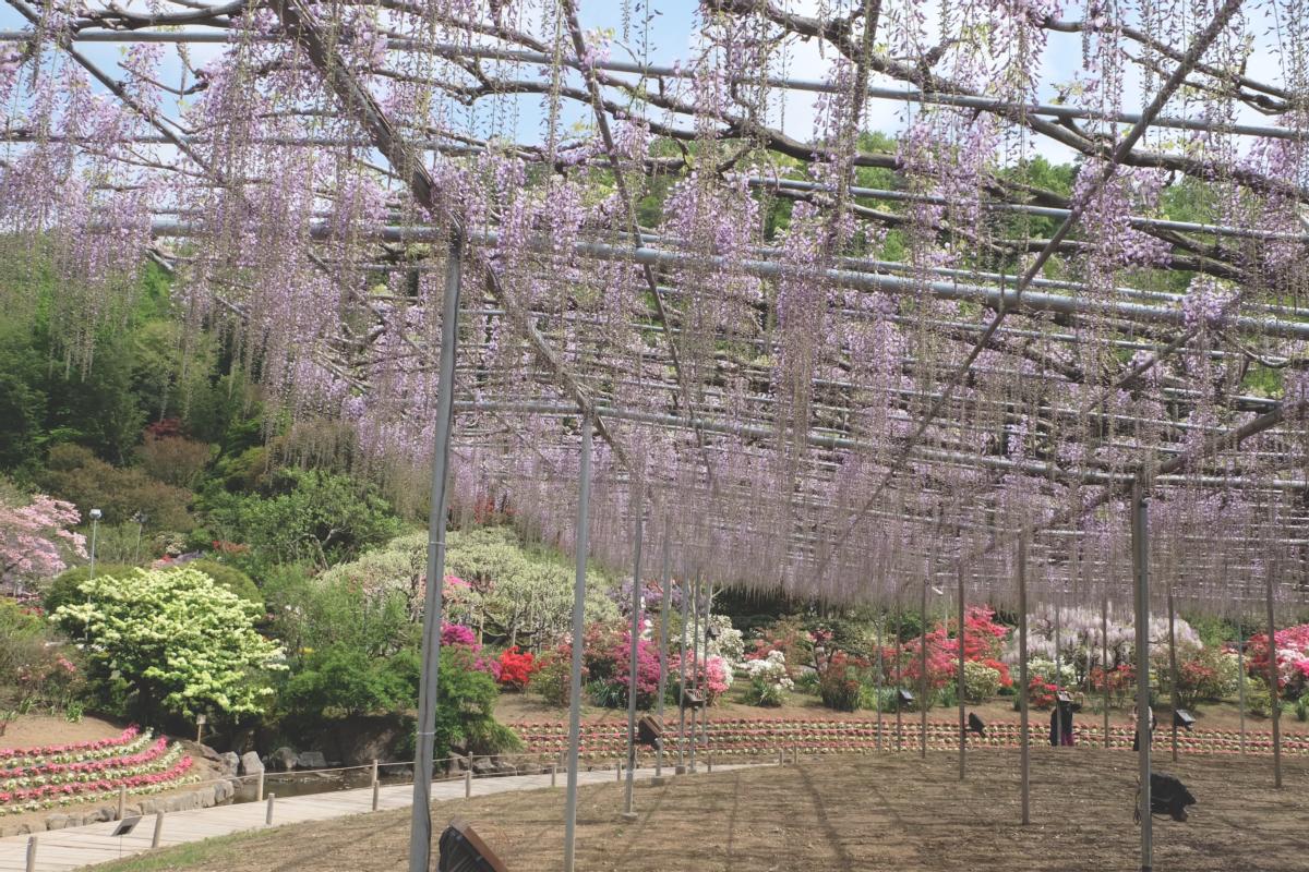 DSCF2837 wisteria ashikaga park