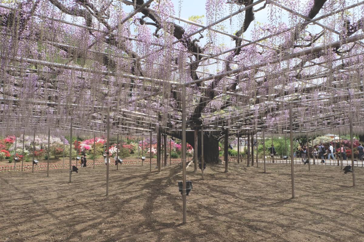 DSCF2839 wisteria ashikaga park