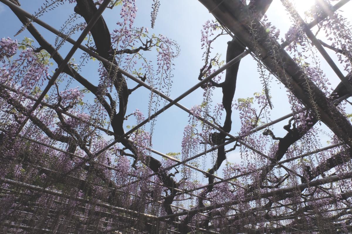 DSCF2840 wisteria ashikaga park