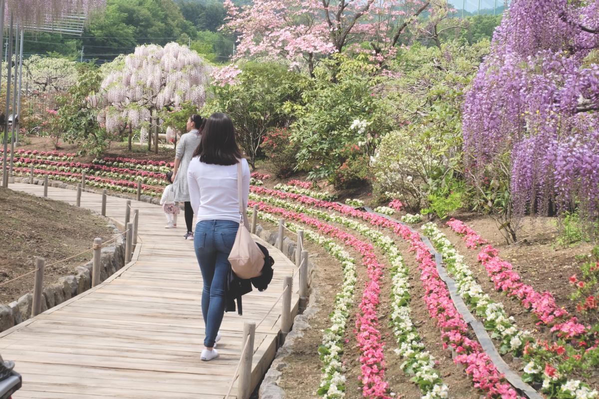 DSCF2856 wisteria ashikaga park