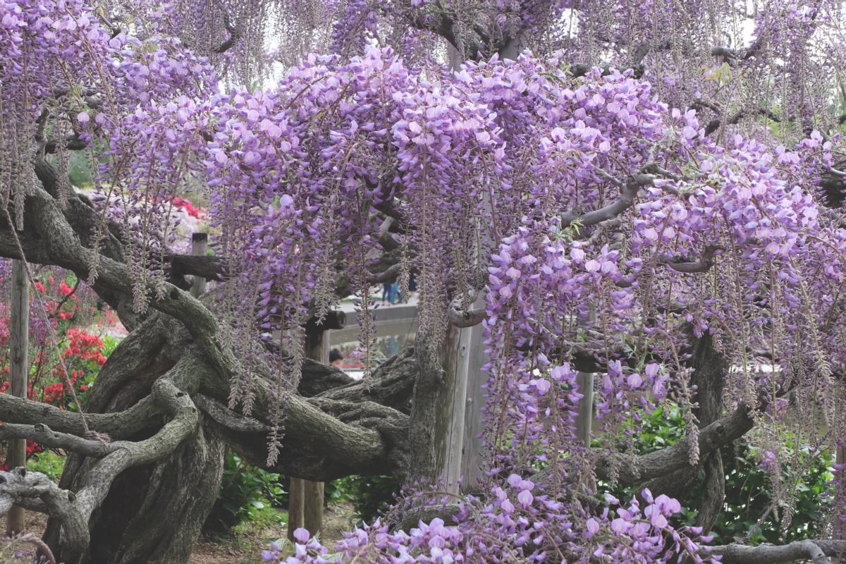 DSCF2873 wisteria ashikaga park