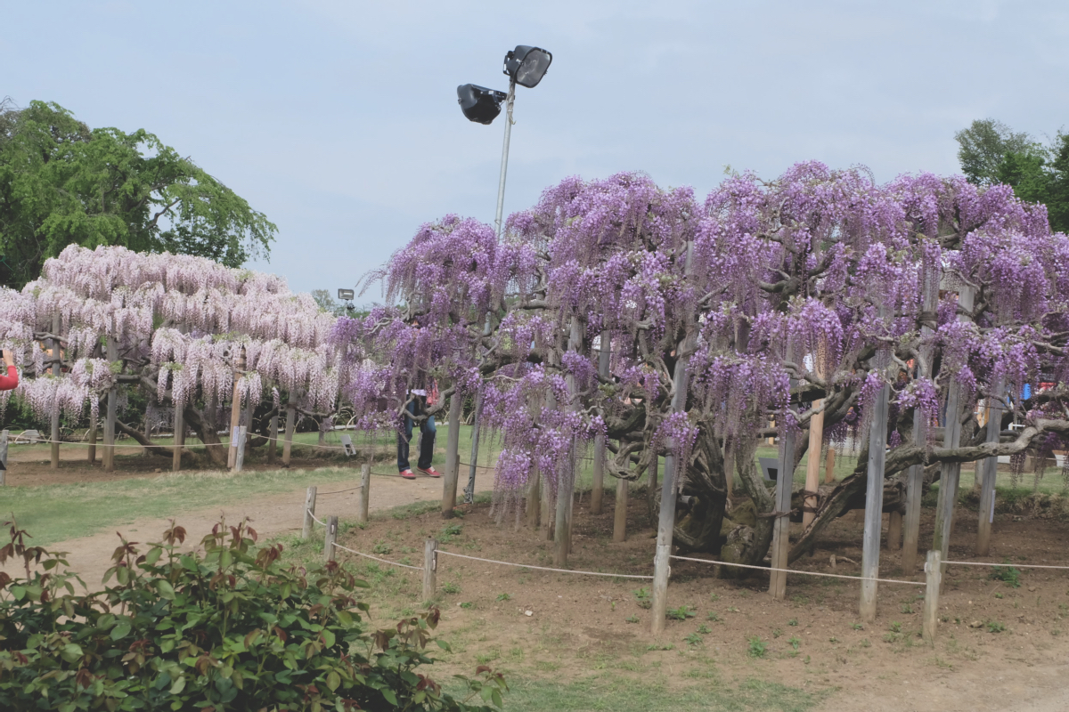DSCF2874 wisteria ashikaga park