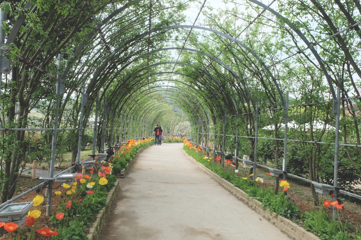 DSCF2879 wisteria ashikaga park