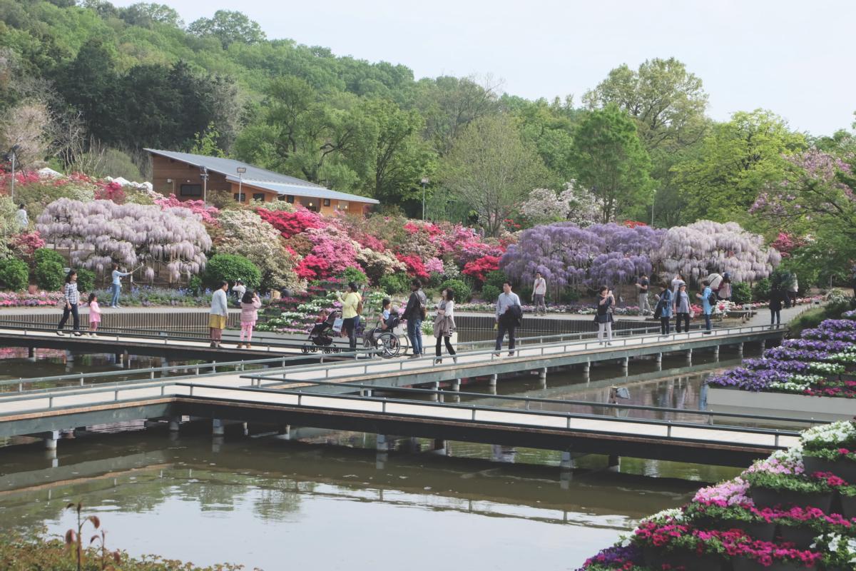DSCF2880 wisteria ashikaga park