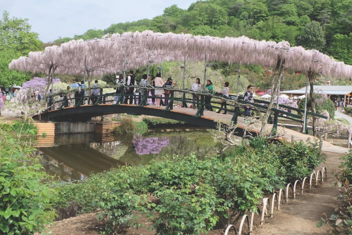 DSCF2881 wisteria ashikaga park