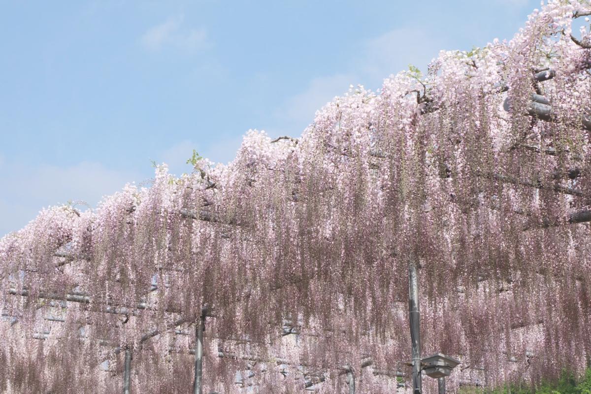 DSCF2883 wisteria ashikaga park