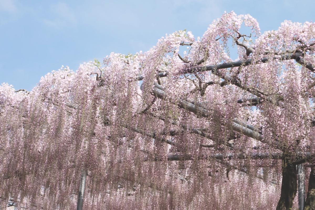 DSCF2884 wisteria ashikaga park