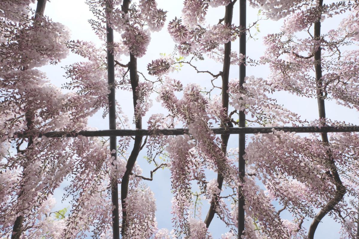 DSCF2894 wisteria ashikaga park