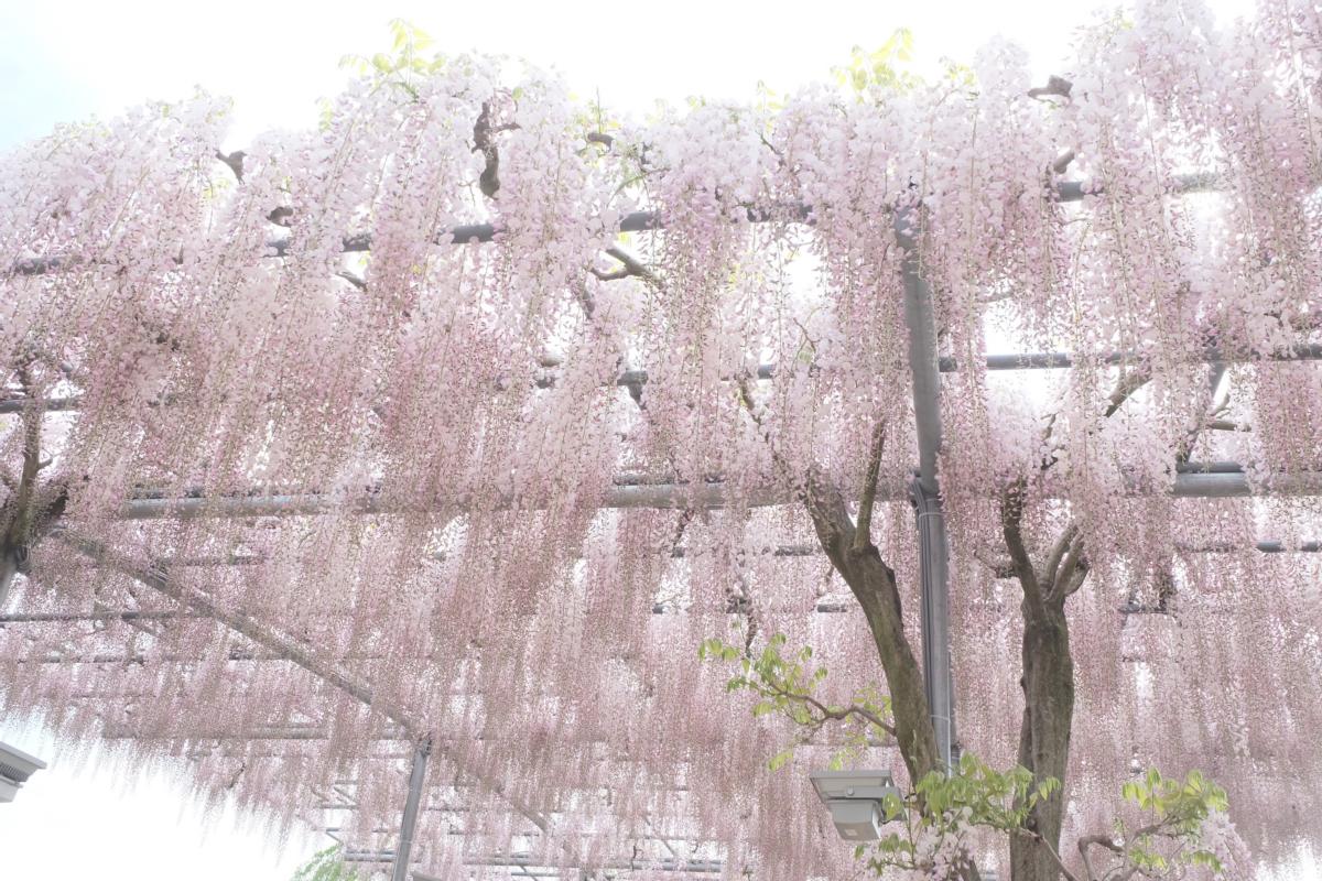 DSCF2900 wisteria ashikaga park